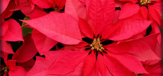 What Everyone Should Know About Poinsettias