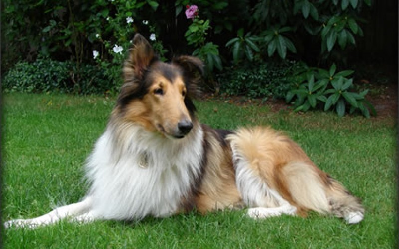 5 Best Guard Dogs for Families