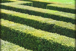 How to Rejuvenate Old Hedges