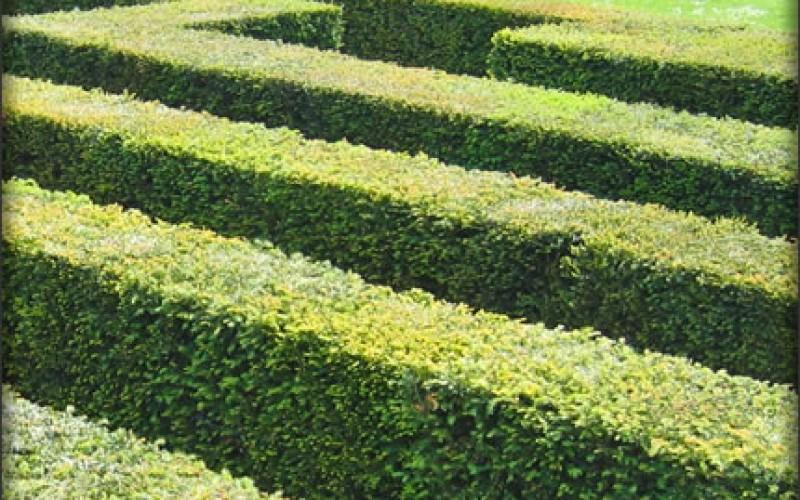 How to Rejuvenate Old Hedges