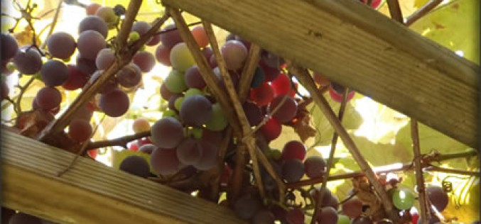 Vineyard Trellising – For Ensuring Good Grape Yields