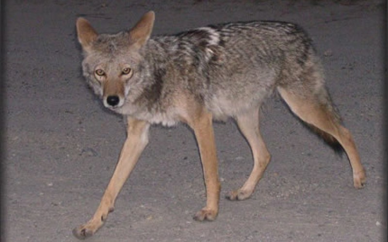 Coyotes on the Prowl: Identification and Control