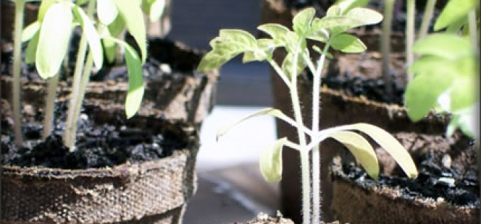 Growing Tomatoes: Tips and Tricks