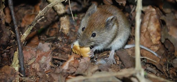 Everything You Need to Know About Mice Pest Control