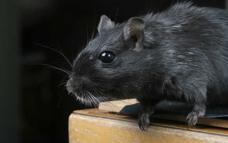 Rats! How to Keep Them Out of Your Home this Summer