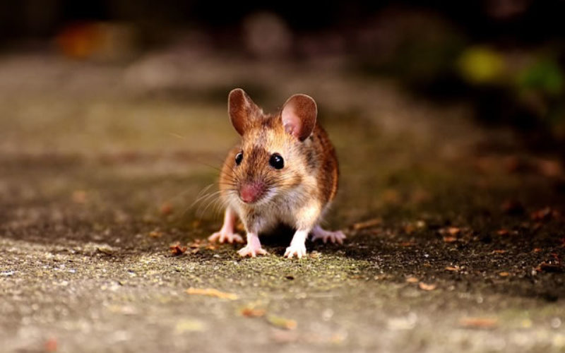 Mouse Hunters: How to Fix Your Home Rodent Problem This Fall