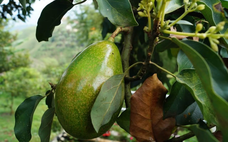 Learn How to Grow Your Own Avocado Tree At Home