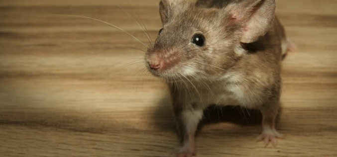 Best Ways to Keep Mice Away from A Home