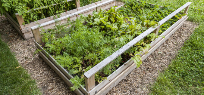Backyard Vegetable Garden in Wooden Raised Beds