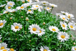 <span>summer landscaping (sunny flowers) – the     </span>White Shasta Daisy