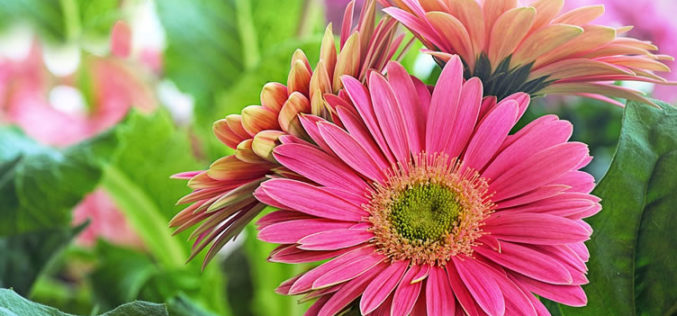 <span>summer landscaping (sunny flowers) – the     </span>Colorful Gerber Daisy