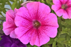 <span>landscaping (sunny flowers) –      </span>Hardy Petunia