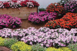 <span>landscaping (annual flowers) – the     </span>Sunpatiens