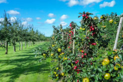 Yummy! Yummy! Fruit. Do You Have Fruit Orchard?