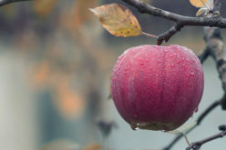 Getting Ready for the Apple Harvest – And the Fruit Thereafter