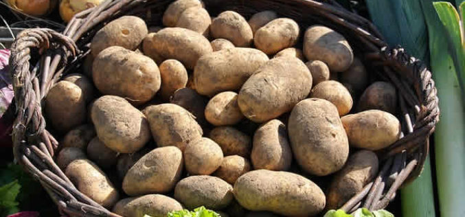 Got To Get the Potato Harvest Done