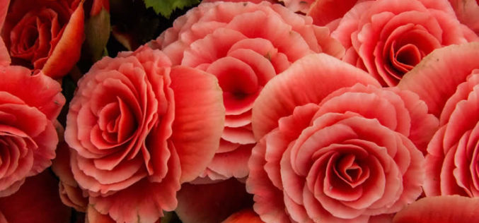 <span>landscaping (annual flowers) – </span>Begonia Flowers – The Flower of Royalty