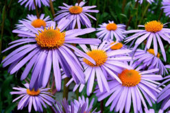 <span>landscaping (annual flowers) –      </span>Colorful Asters