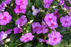 <span>landscaping (annual flowers) –      </span>Impatiens