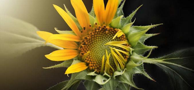 <span>landscaping (annual flowers) – </span>Sunflower – Sun Loving Giants