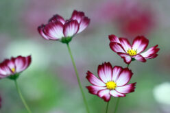 <span>landscaping (annual flowers) – </span>Cosmos