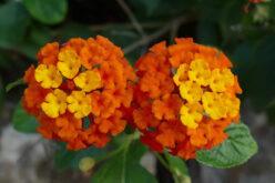 <span>landscaping (annual flowers) – </span>Verbena
