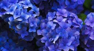 <span>landscaping (perennial flowers) –    </span>Hydrangea