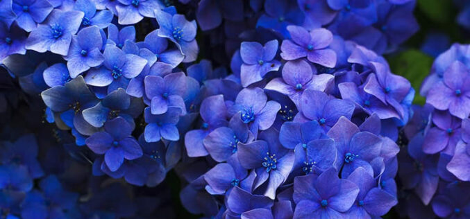 <span>landscaping (perennial flowers) – </span>Hydrangea