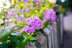 <span>landscaping (perennial flowers) – </span>Phlox