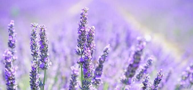 <span>landscaping (perennial flowers) – </span>Lavender