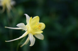 <span>landscaping (perennial flowers) – </span>Columbine