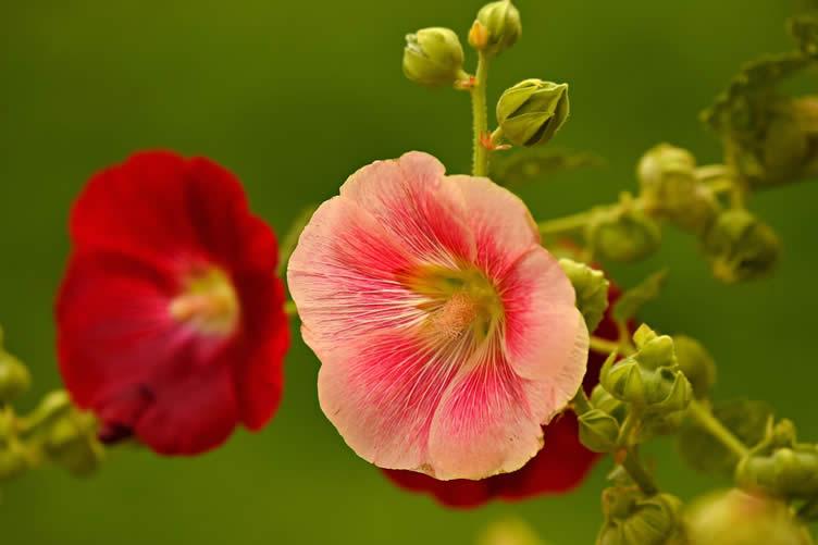 flowering hollyhocks