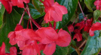 <span>landscaping (annual flowers) –    </span>Dragon Wing Begonias
