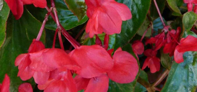 <span>landscaping (annual flowers) – </span>Dragon Wing Begonias