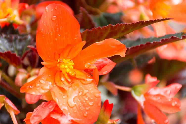 dragon wing begonias